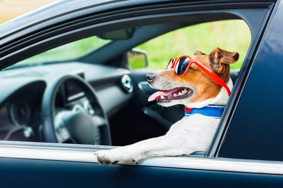 dog in a car window